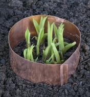 Copper Slug Ring encircling plant shoots