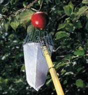 Fruit Picker attached to a pole, being held below an apple on a branch