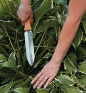 Dividing hostas with the Hori Hori Knife
