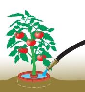 Illustration of crater around a tomato plant being filled with water
