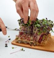 Cutting sprouts on a hemp-fiber grow mat with a pair of scissors
