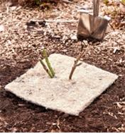 A weed suppression square placed around the base of a newly planted rose bush