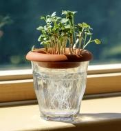 Radish sprouts being grown from seed in a terra cotta sprouter placed on top of a jar of water
