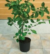 A tree branch transplanted into a pot
