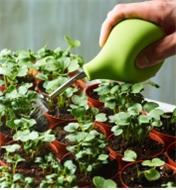 Using the seedling sprayer to lightly water new seedlings