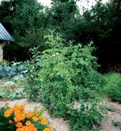 Tomato plants in a garden supported with Tomato Spirals