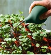 Using the seedling sprayer to lightly water new seedlings