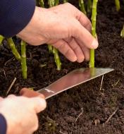 Using the flat end of the harvest knife to cut a plant stalk