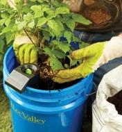 Planting a leafy plant in a bucket filled with soil