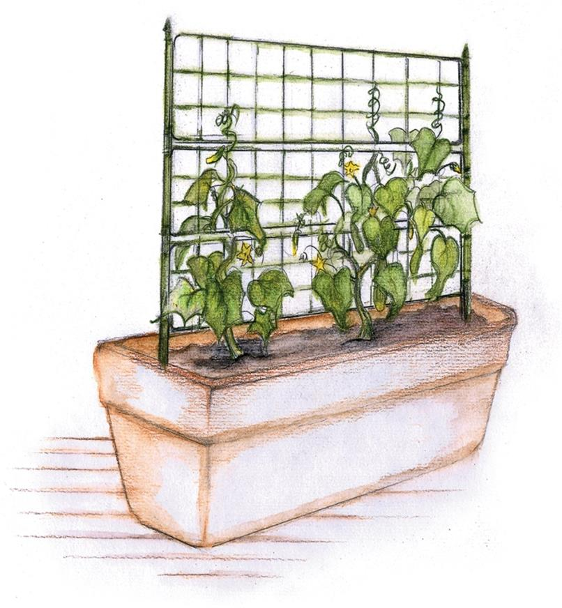 Illustration of flat tomato cage used as a trellis in a planter