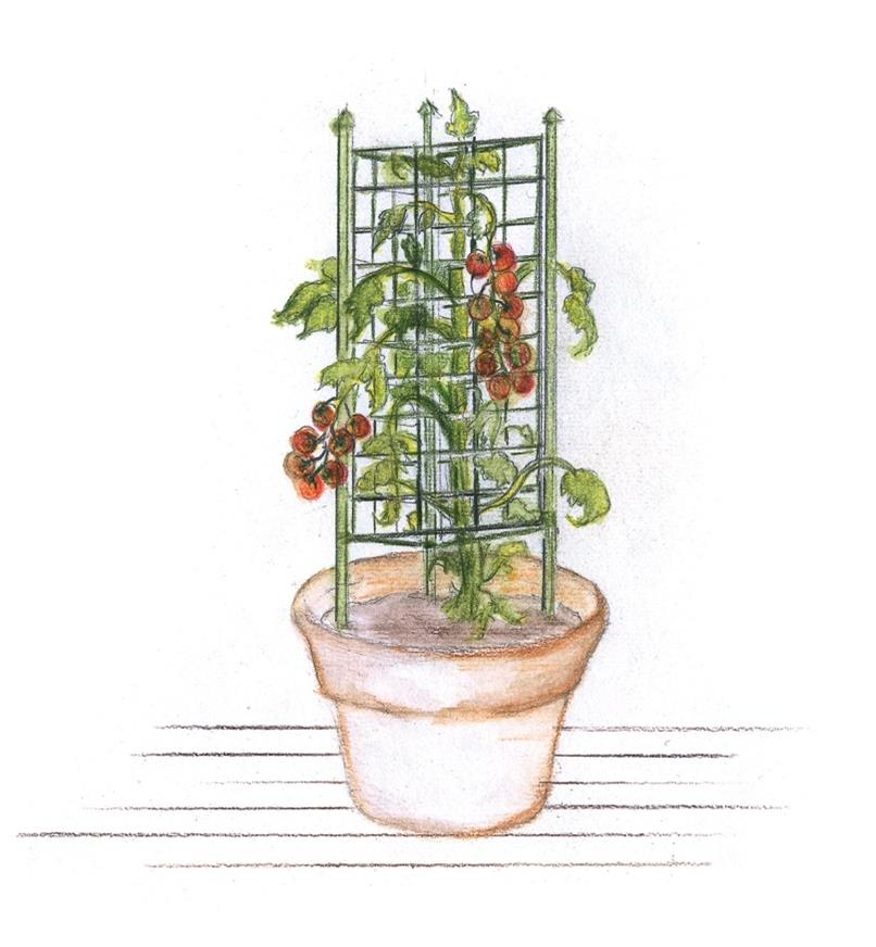 Illustration of folded tomato cage used in a round pot