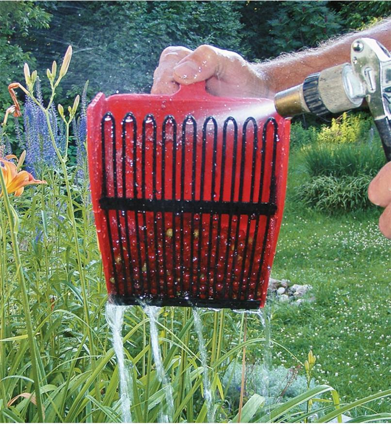 Rinsing berry scoop with a hose