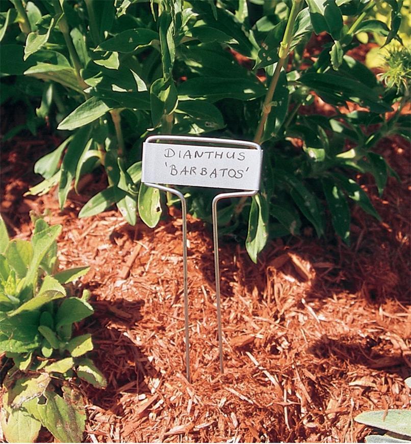 Regular marker in a garden marked with dianthus 'barbatos'