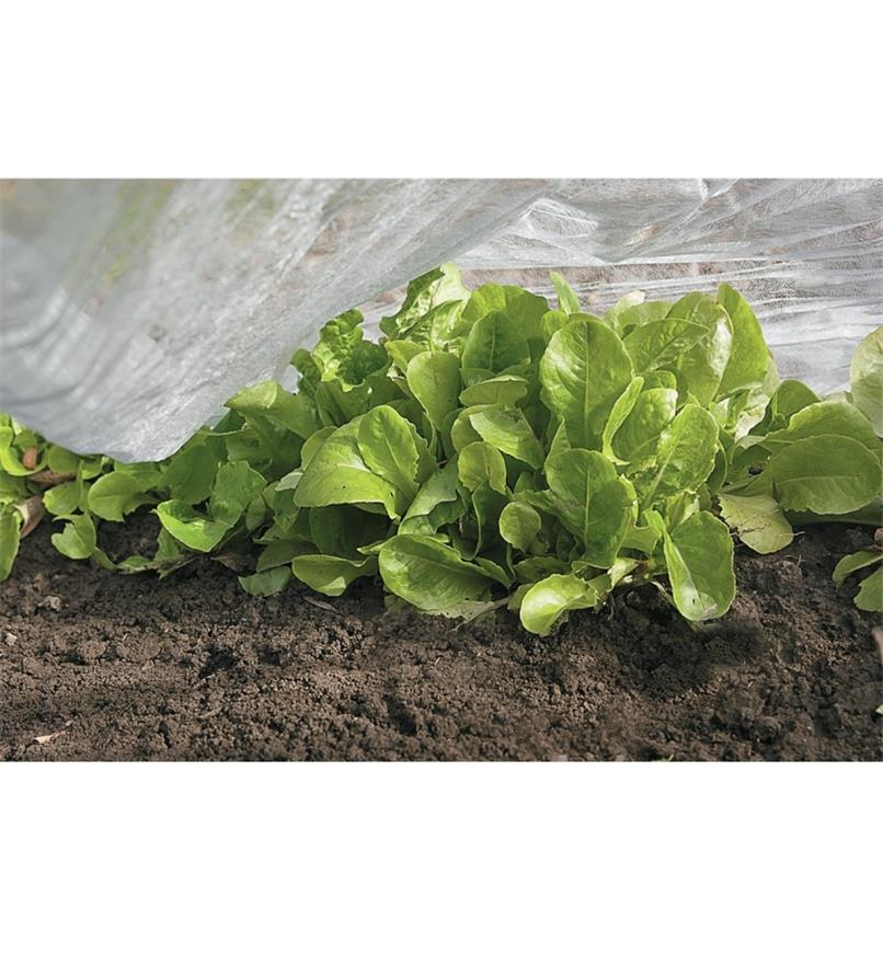 Floating Row Cover covering lettuce
