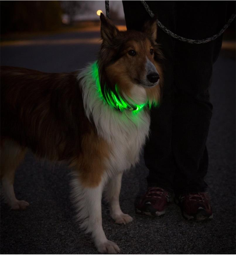 A dog wearing a NiteHowl LED Pet Neckband