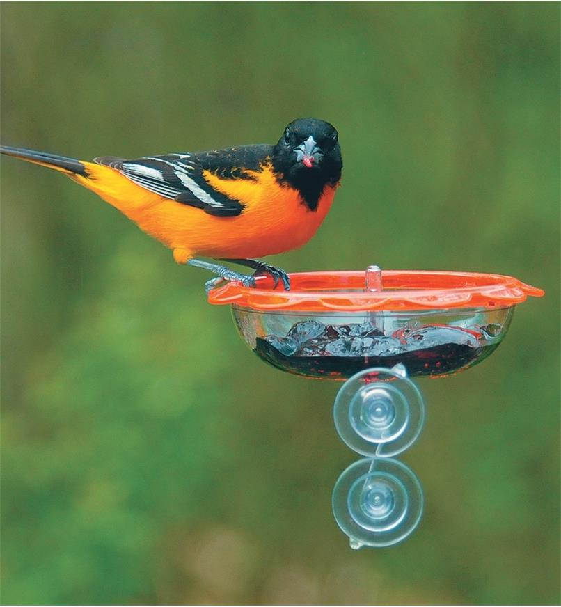 An oriole perches on an Oriole window Feeder mounted to a window