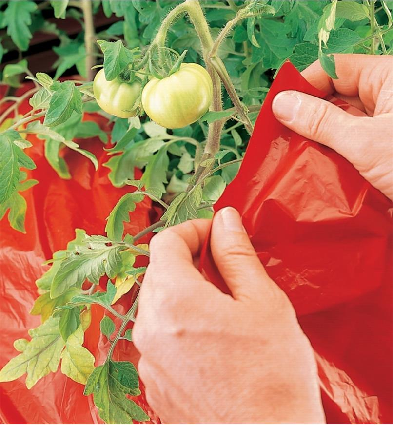 Placing Super Red Mulch under tomato plants