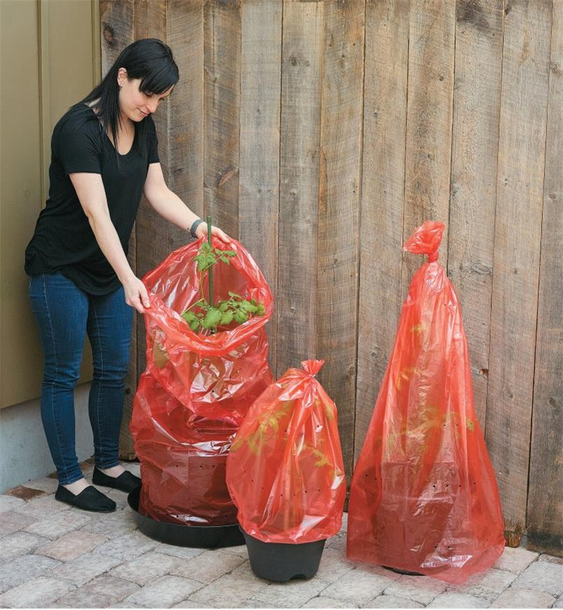 A woman covers three potted plants with Tomato Greenhouse sleeves