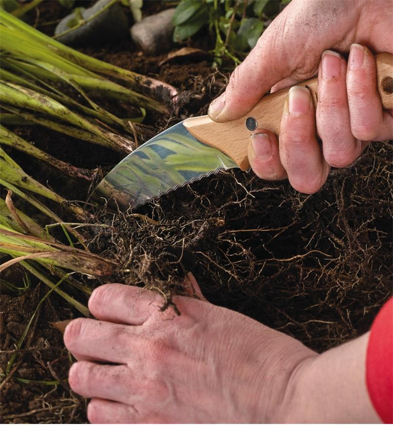 Root knife cutting through roots to divide a plant