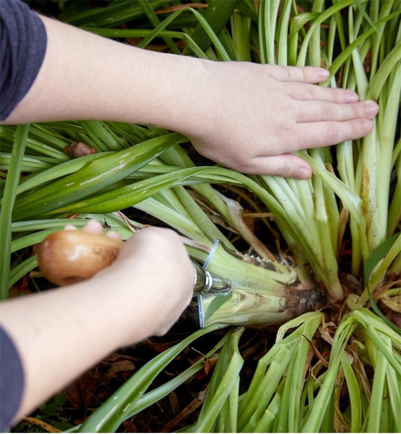 Grand couteau de jardinage servant à diviser des lys