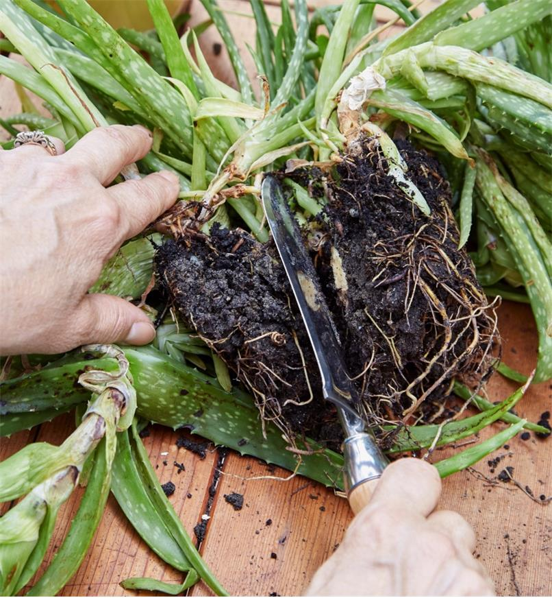 Using the small garden knife to divide the root ball of an uprooted aloe vera plant