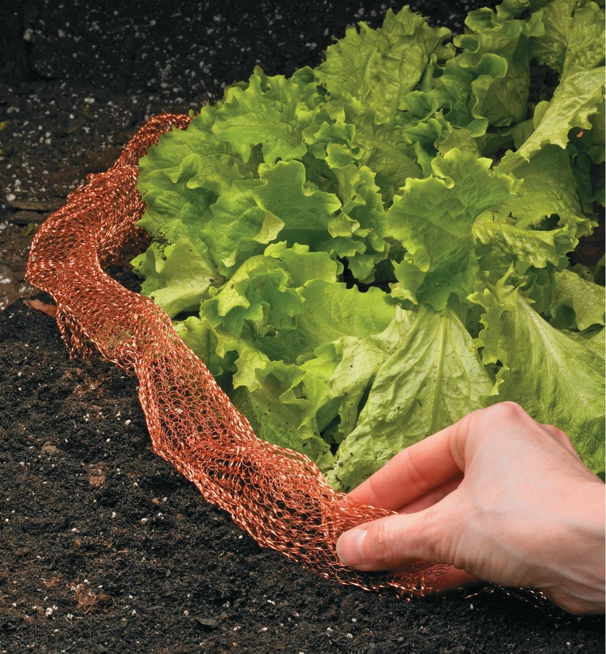 Copper Blocker placed around lettuce in a garden