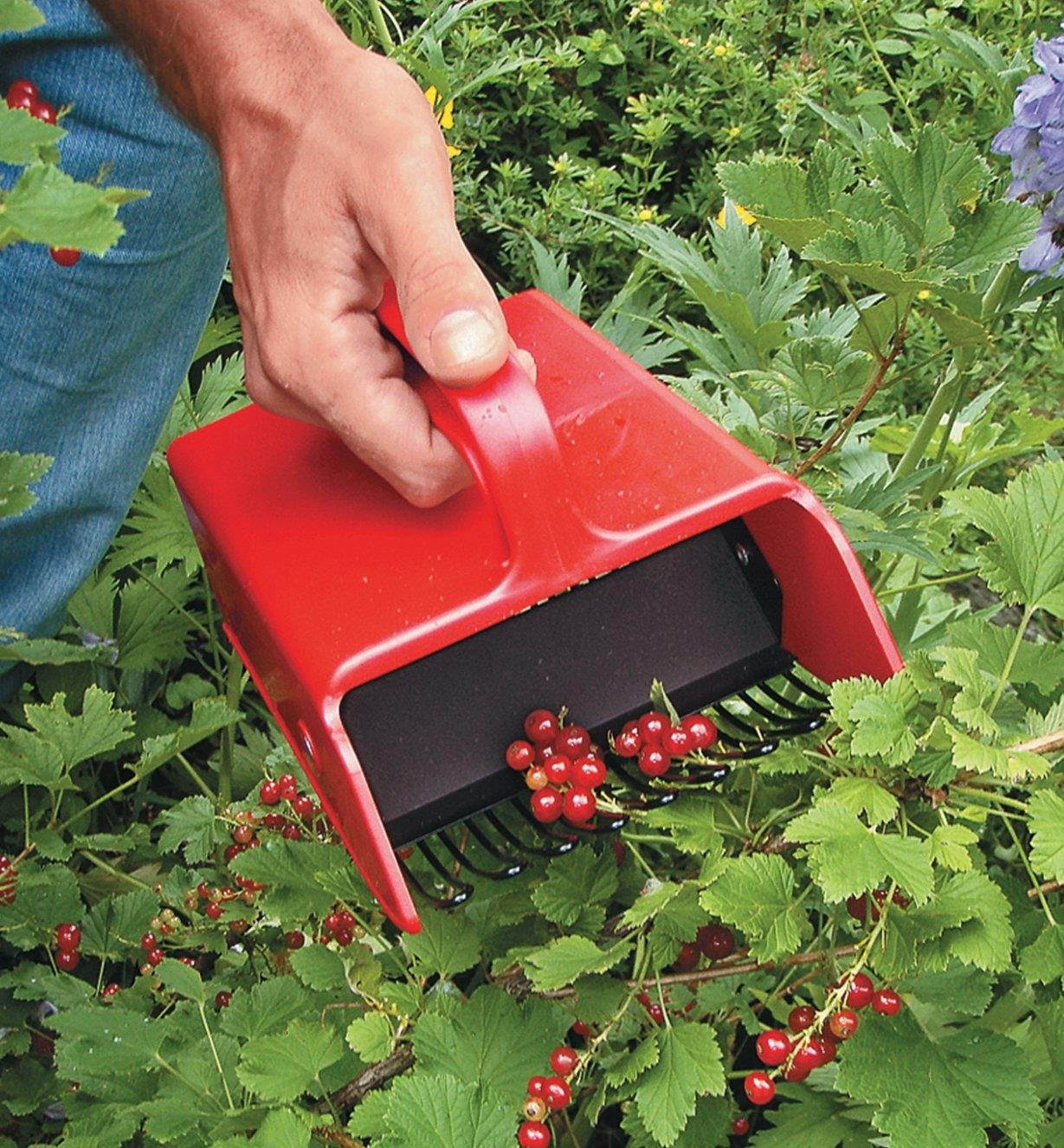 Berry Scoop being used to collect redcurrants