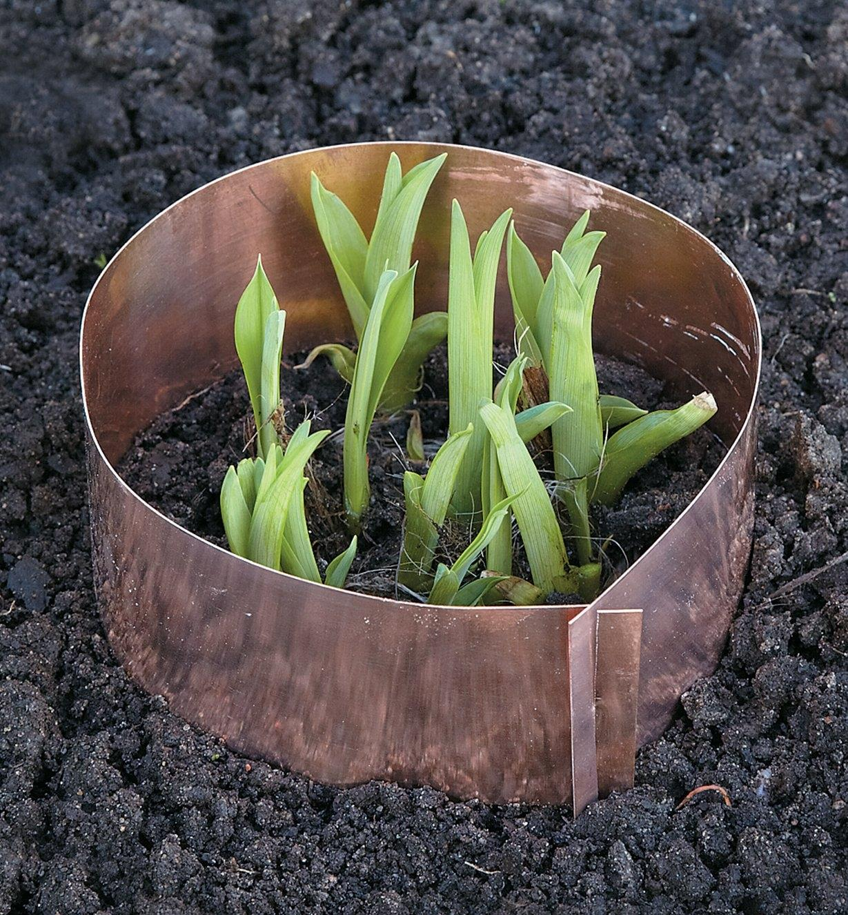 Copper Slug Ring encircling plant shoots