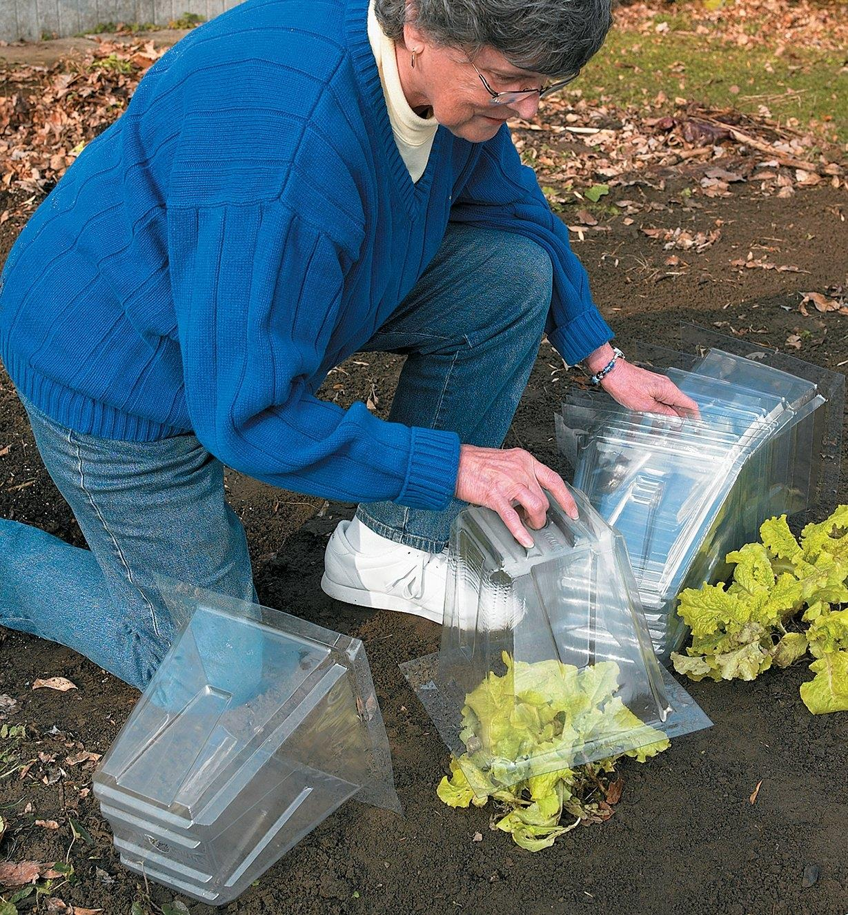 A woman covers lettuce in a garden with cloches