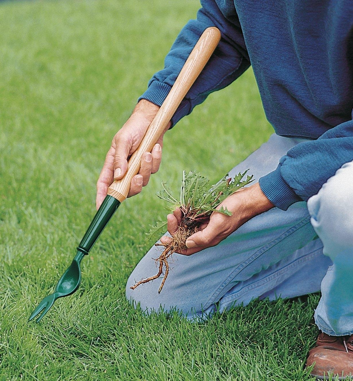 Using the short Dandelion Digger to remove a weed from a lawn