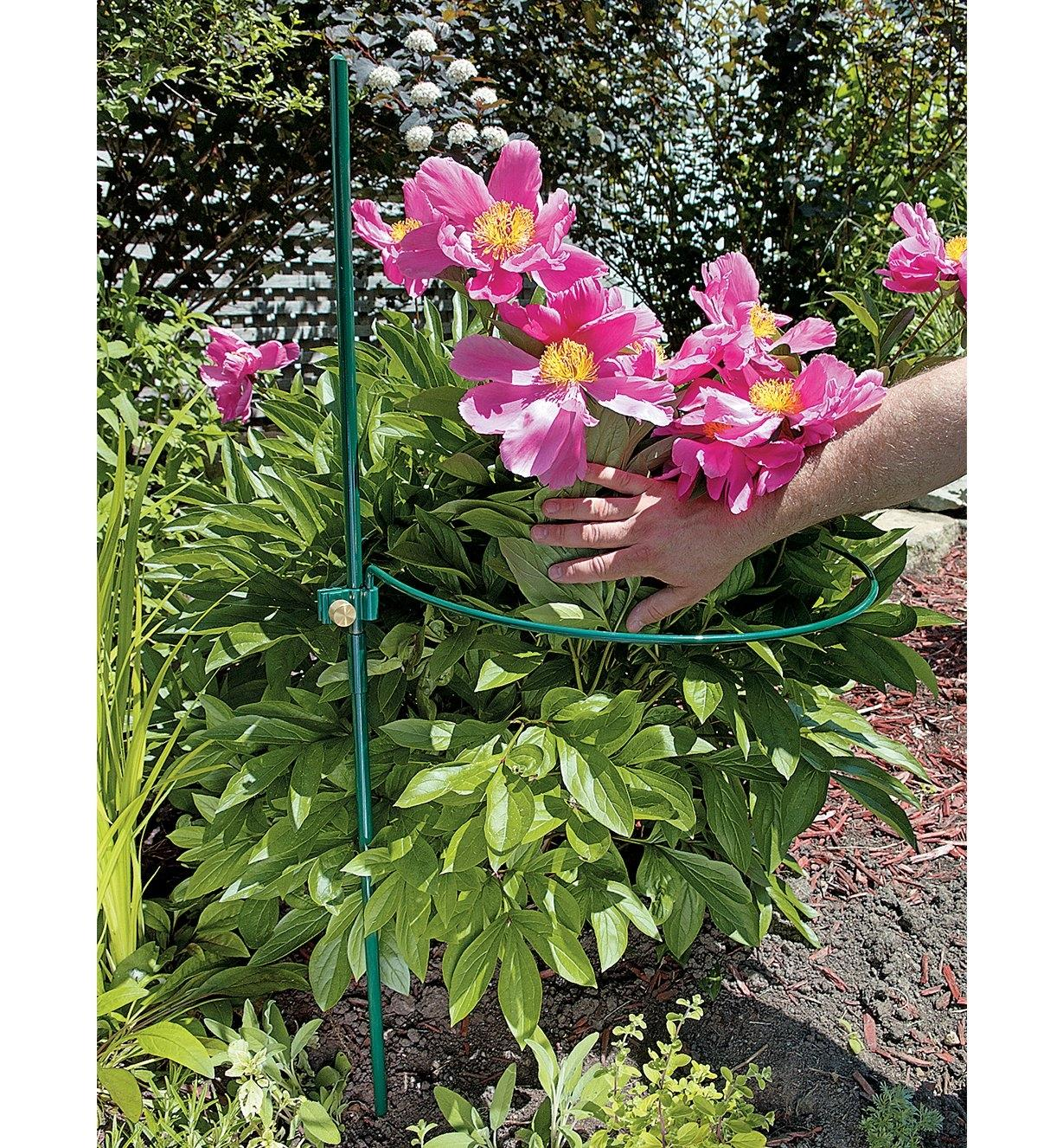 """18"""" Peony Hoop supporting peony plant in a garden"""