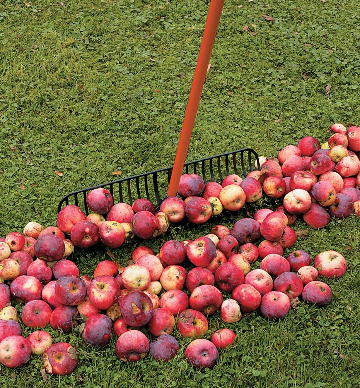 Using the Power Rake to collect fallen apples