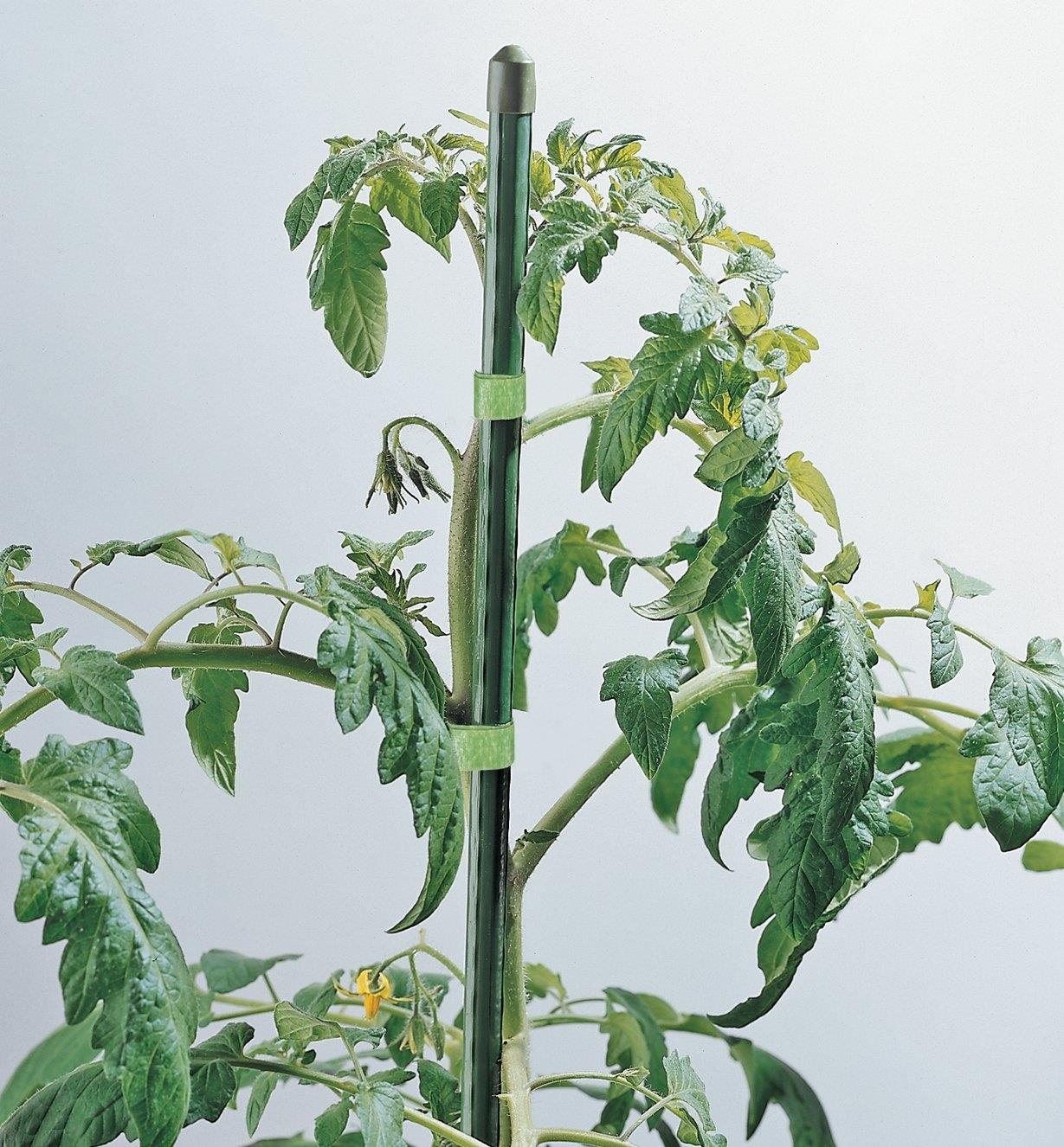 Permanent Stake tied to a tomato plant