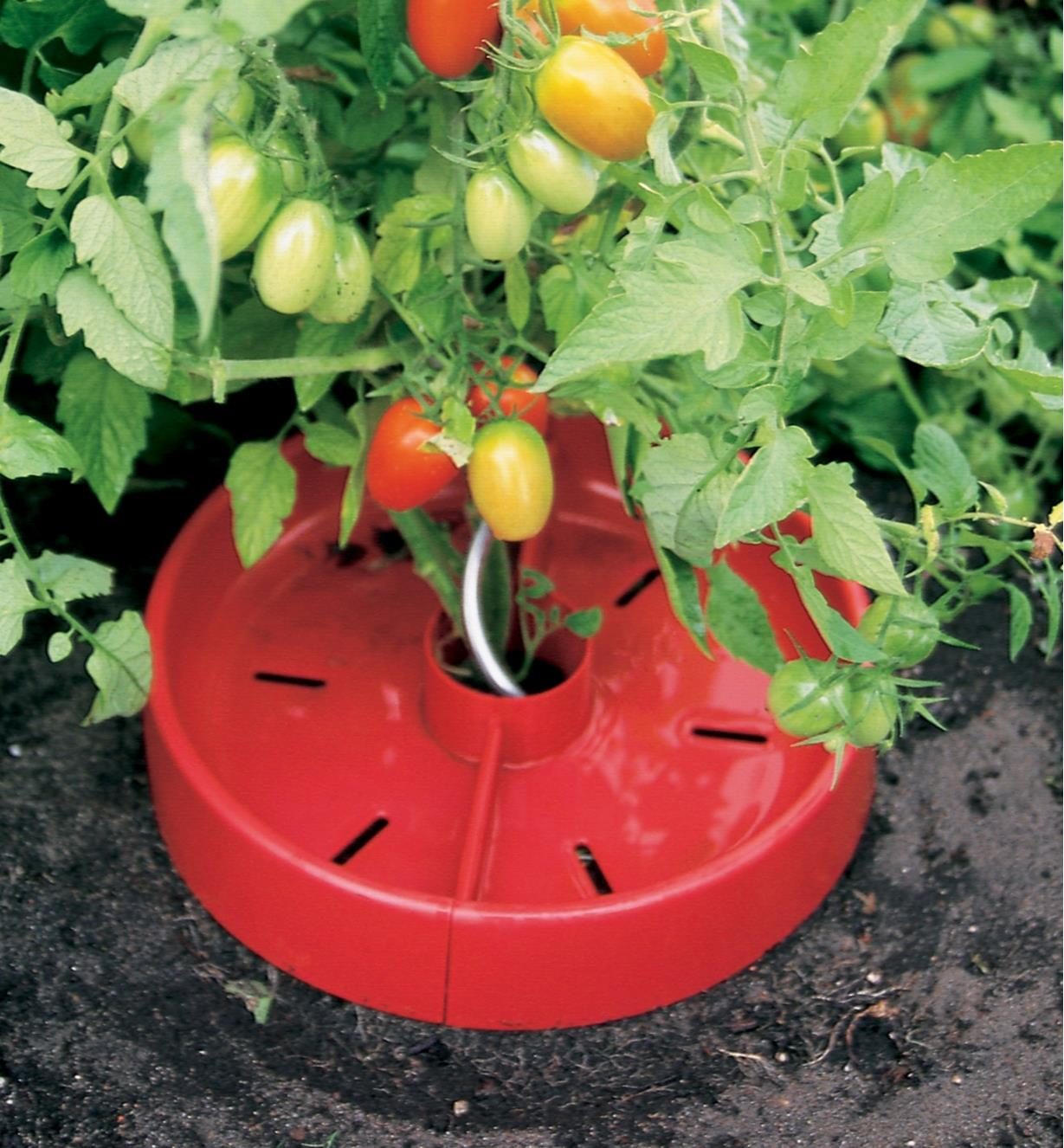 Tomato Crater placed around the stem of a tomato plant