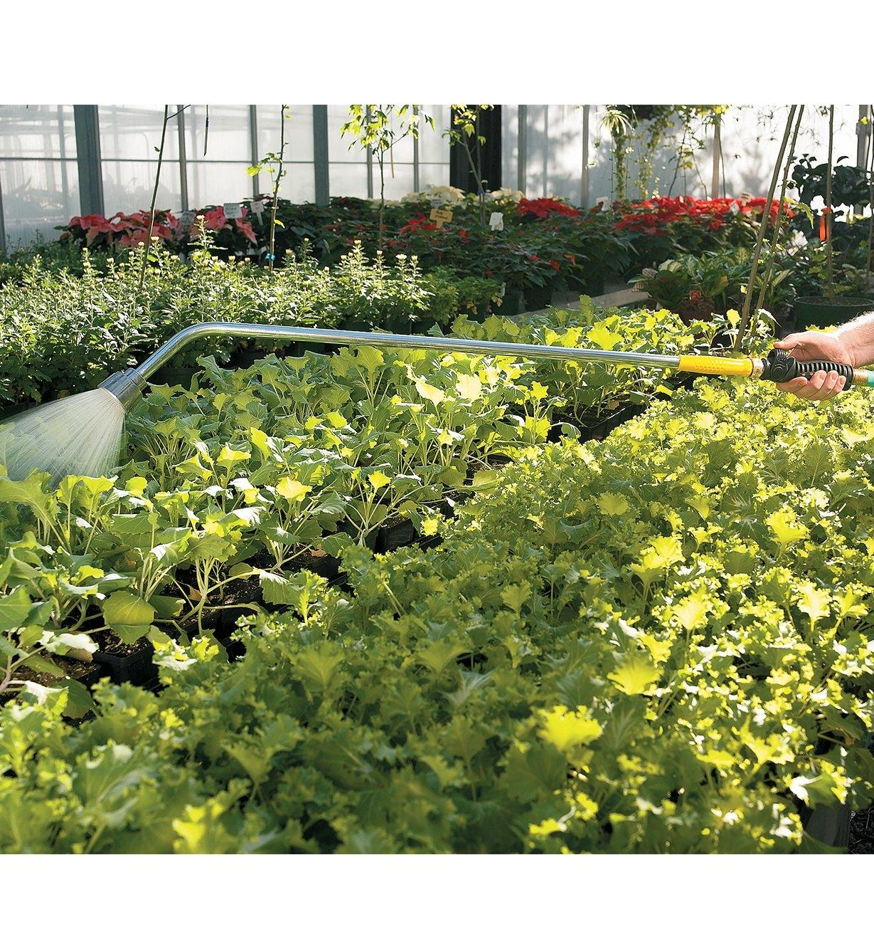 Watering flats in a greenhouse with the water wand