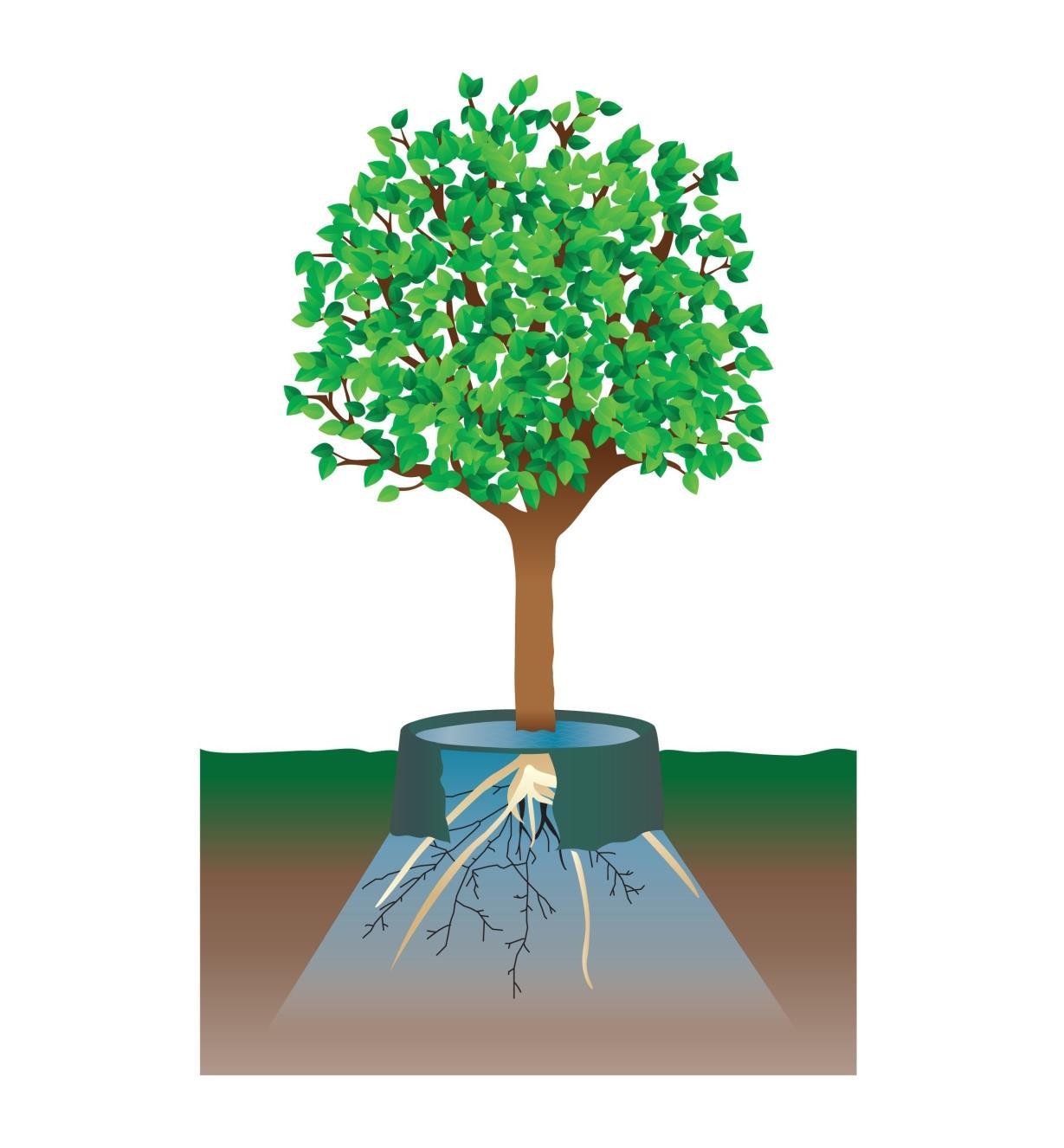 Tree Water Rings