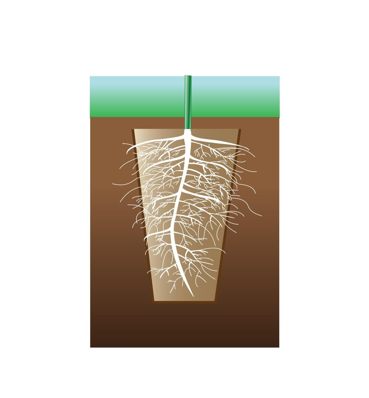Illustration shows roots penetrating the walls of the pot after planting