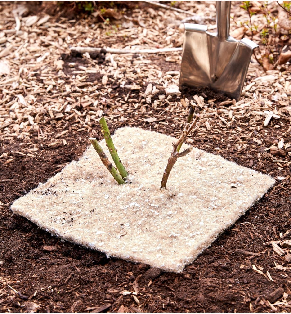 Tapis anti-mauvaises herbes autour de la base d'un rosier récemment planté