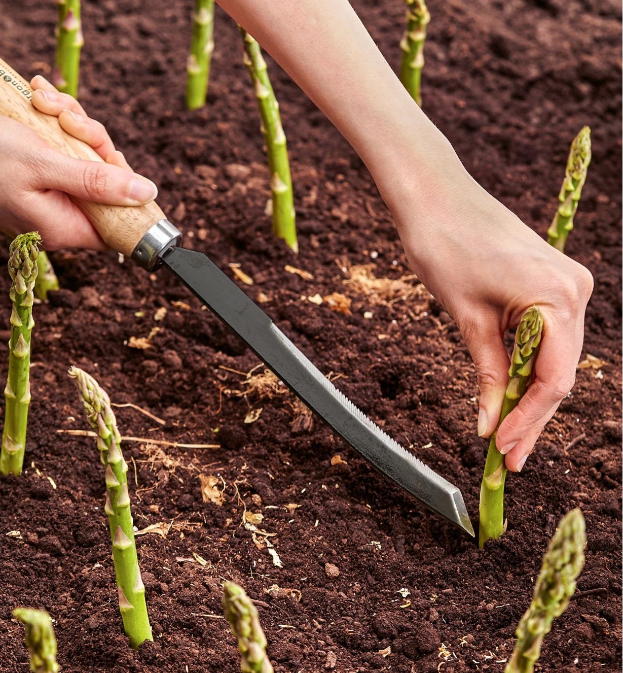 Harvesting asparagus with the Asparagus/Harvest Knife