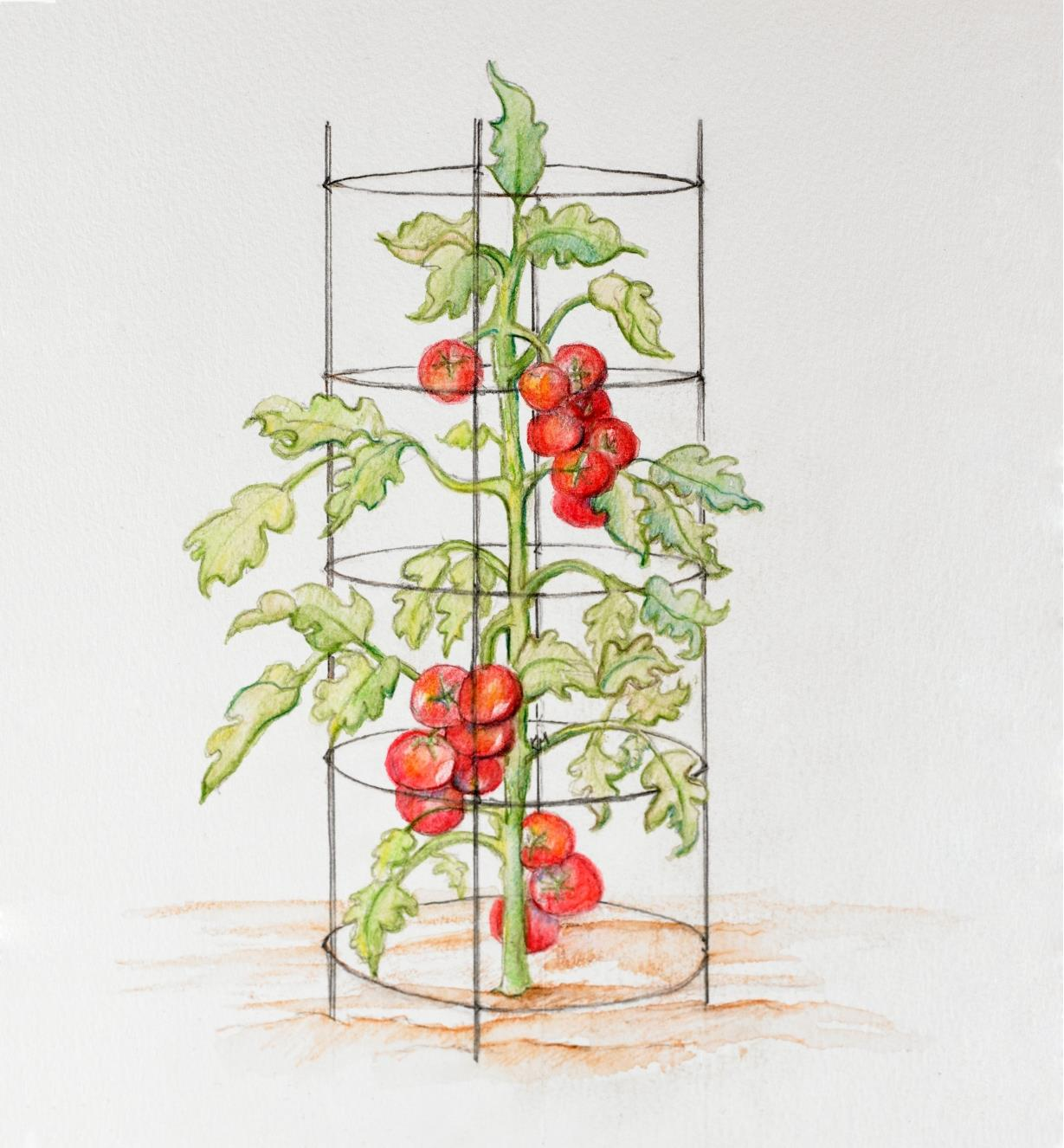 Drawing of a large tomato plant supported by the folding tomato cage