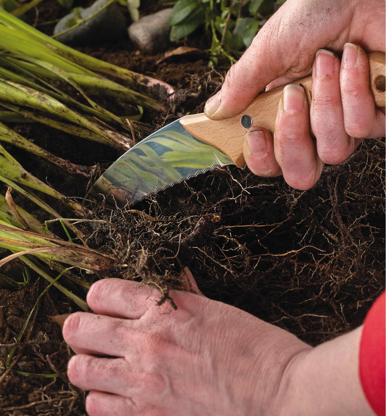 Couteau coupe-racines coupant des racines pour diviser une plante