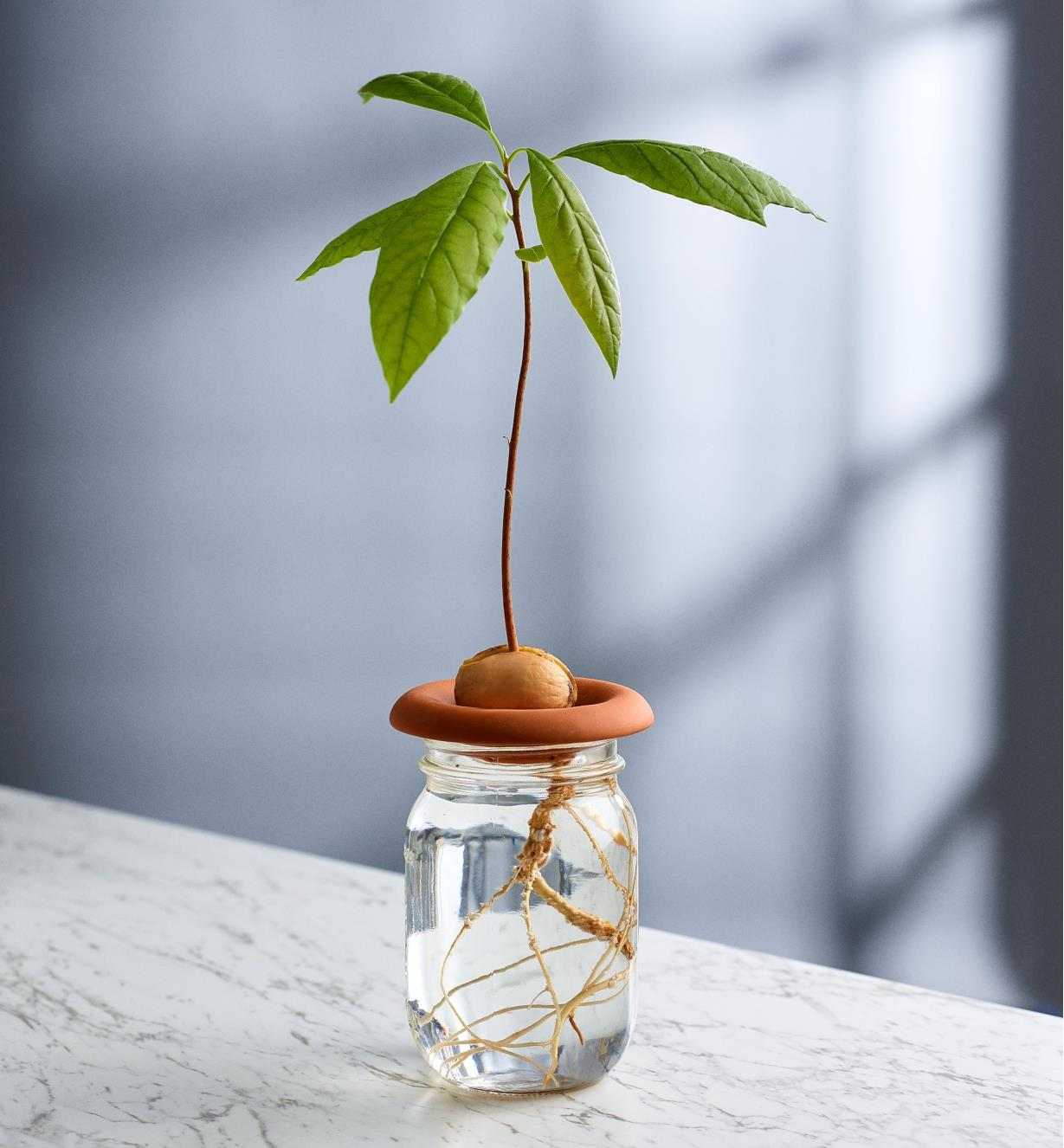 An avocado seedling being sprouted in a terra cotta sprouter placed on top of a jar of water