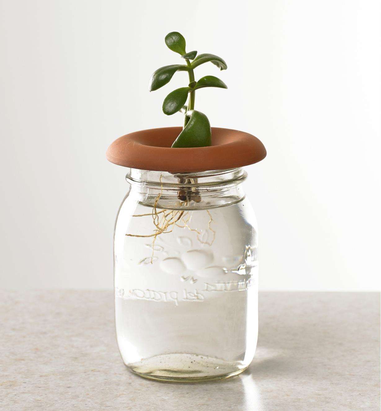 A jade plant, rooted from a cutting, being sprouted in a terra cotta sprouter placed on top of a jar of water