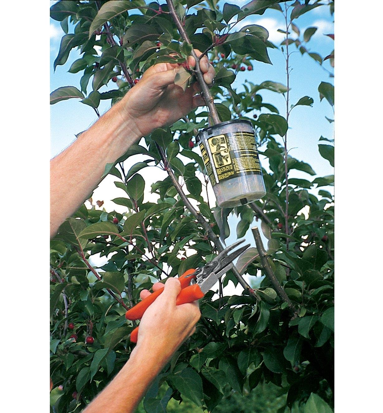 Cutting a tree branch below the rooter pot attached to it