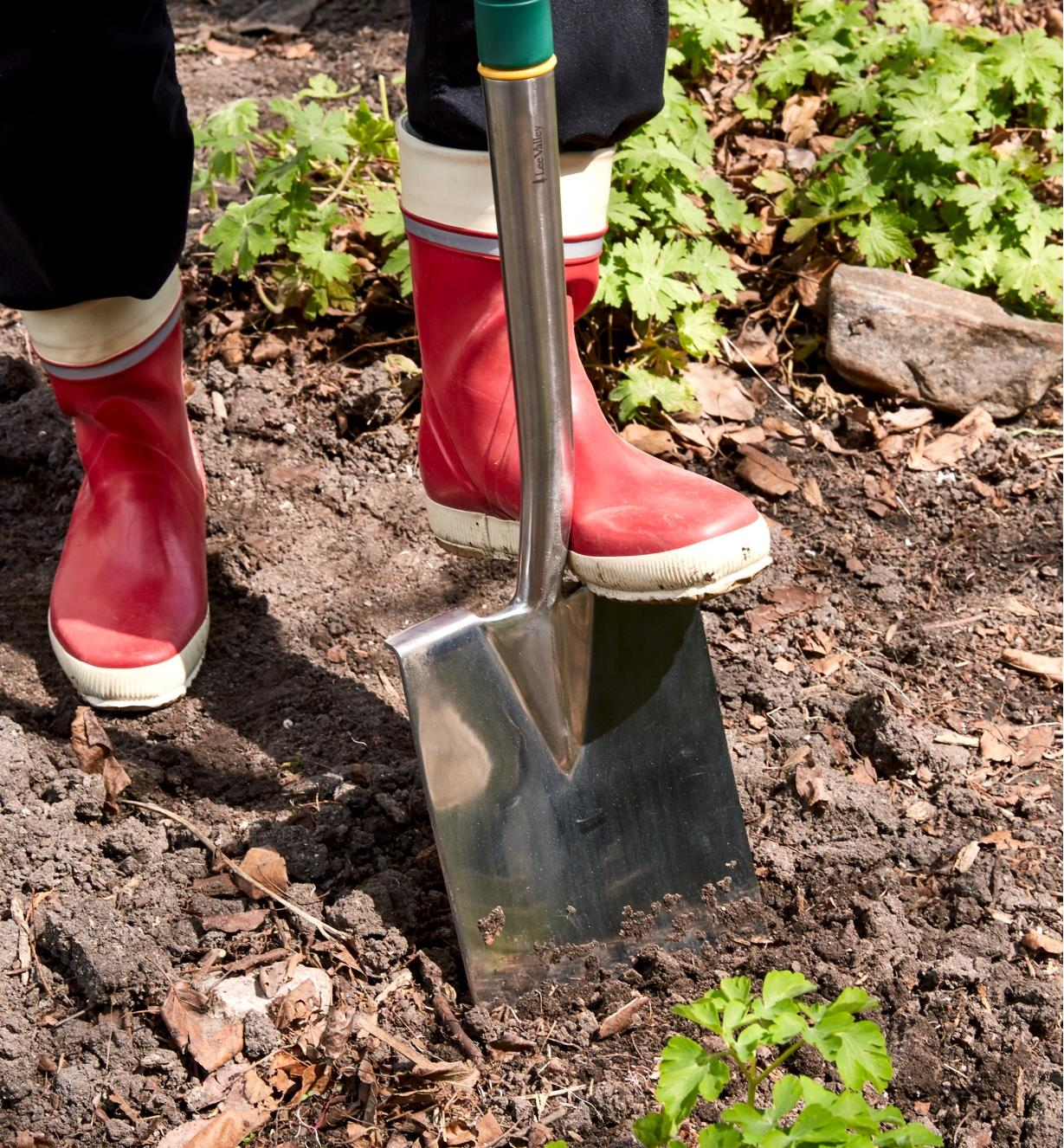 Stepping on the foot tread of a stainless-steel digging spade to push it into the soil
