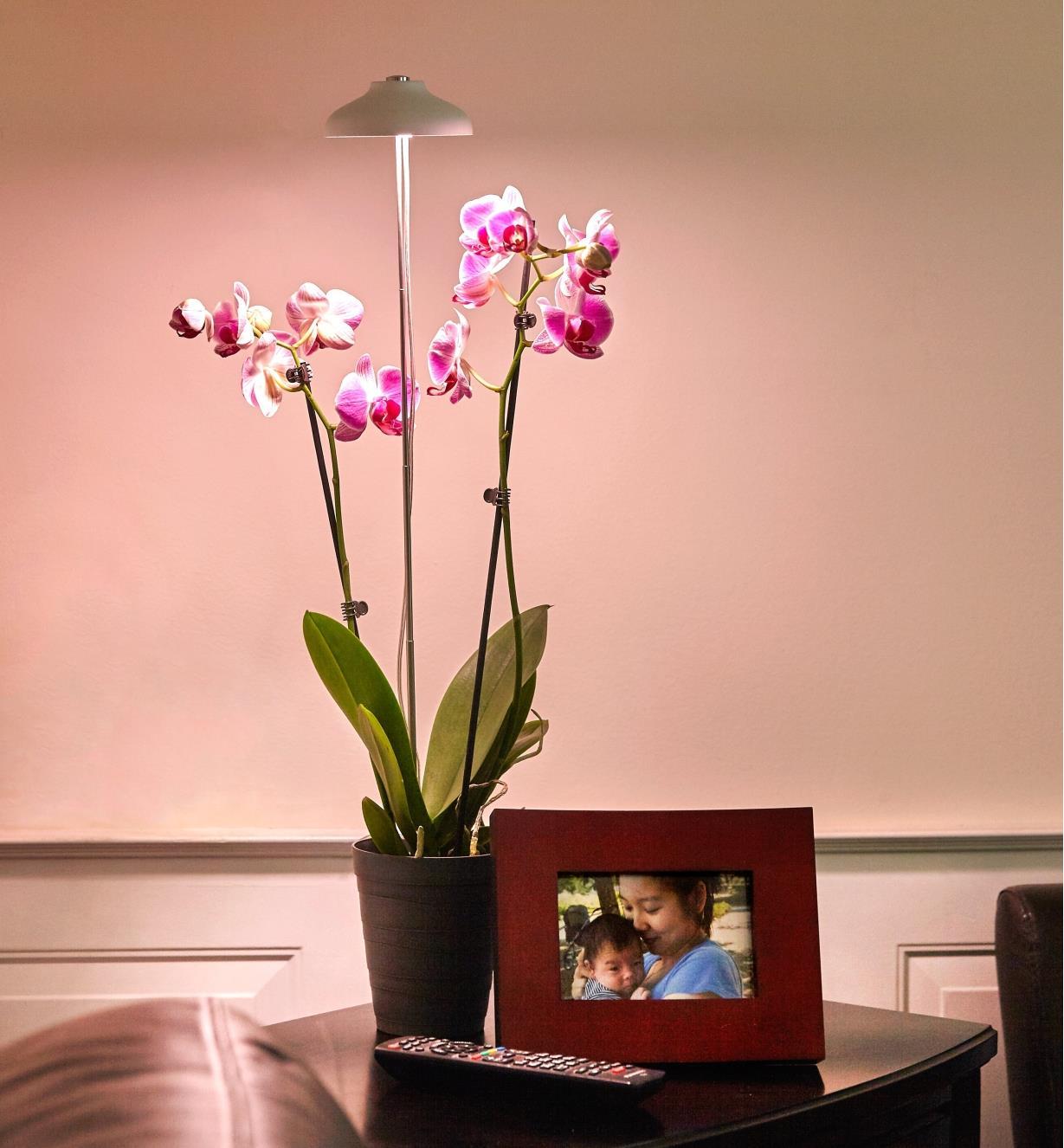 Minilampe horticole à DEL ajustée à la hauteur d'une orchidée grâce à sa tige télescopique