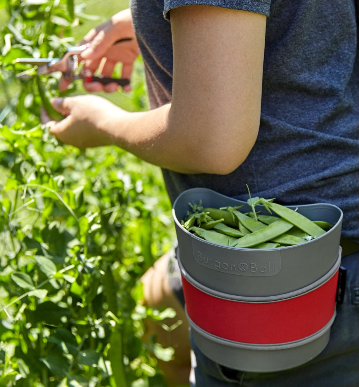 A gardener harvests snow peas, collecting them in a small hip-trug